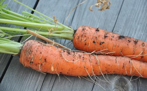 potager de balcon carottes