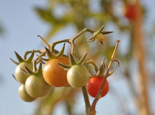 Locavore: les tomates poussent très bien en France