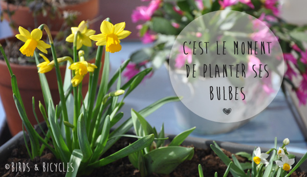 Plantes à bulbes: narcisses au balcon