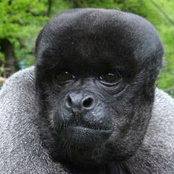 Caju Crédit Photo: The Monkey Sanctuary