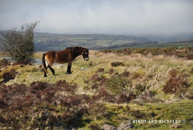 Exmoor la lande (1)