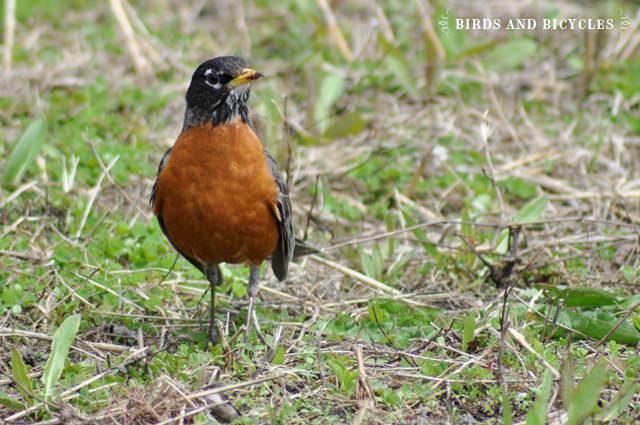 oiseaux du québec (10)
