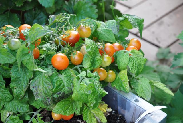 Les tomates de la-Belle-Blanche-(9)