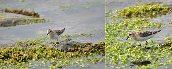 Oiseaux - Balade nature sur l''Île aux Lièvres au Québec...