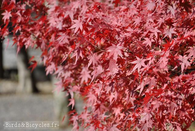 Momiji: L'automne au Japon