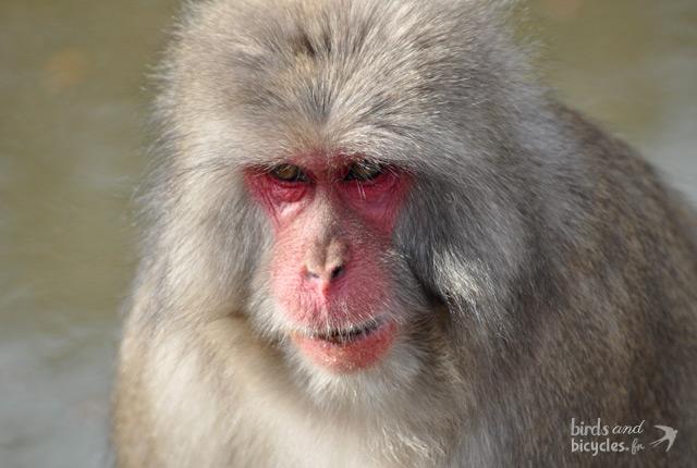 Macaque-Kyoto-2