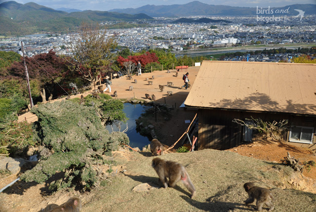 Parc de singes au Japon