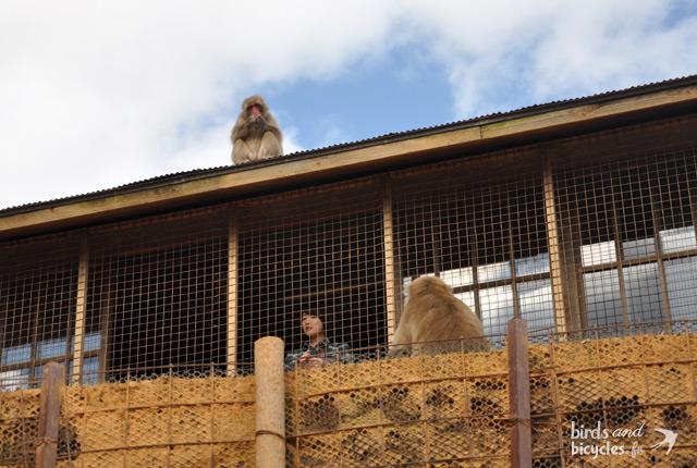 Parc à Kyoto - singes en liberté