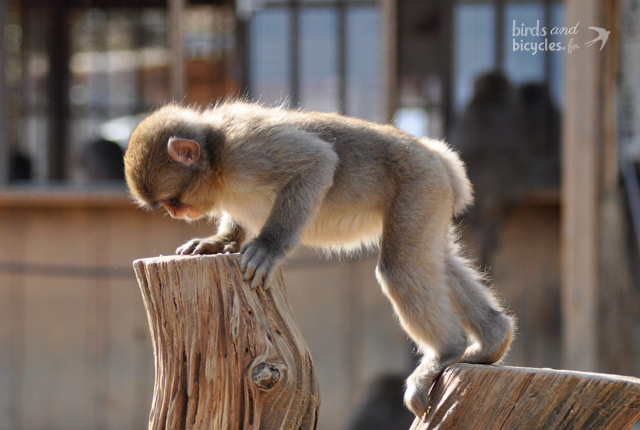Monkey Park Iwatayama