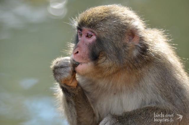 singe-a-arashiyama-montagne-macaques