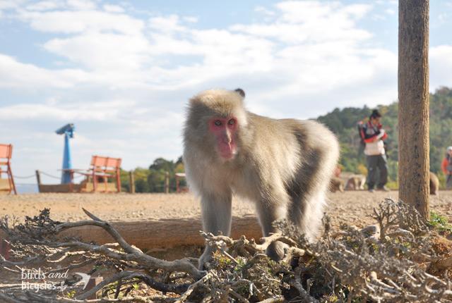 Découverte du Monkey Park Iwatayama de Kyoto