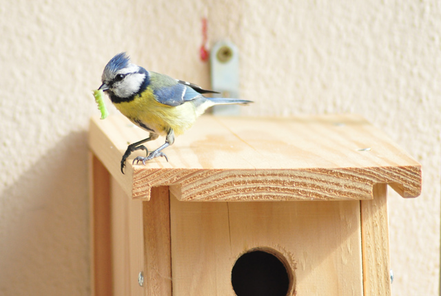 Une mésange bleue qui fait son nid sur le balcon