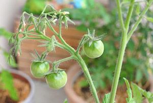 Jardinage urbain: mon potager de balcon, le bilan!