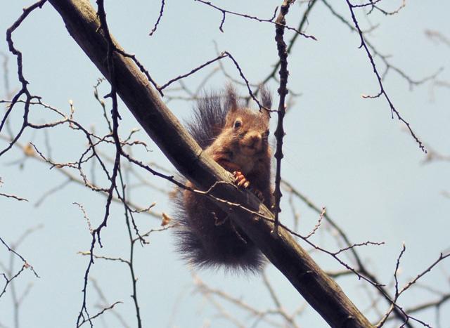 Ecureuil roux vu au parc Sainte Marie à Nancy