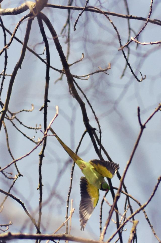 Perruche verte en plein vol à Nancy
