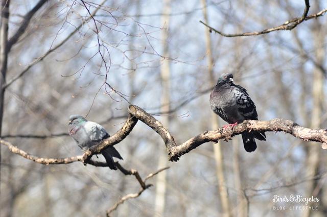Pigeons au parc sainte marie a nancy
