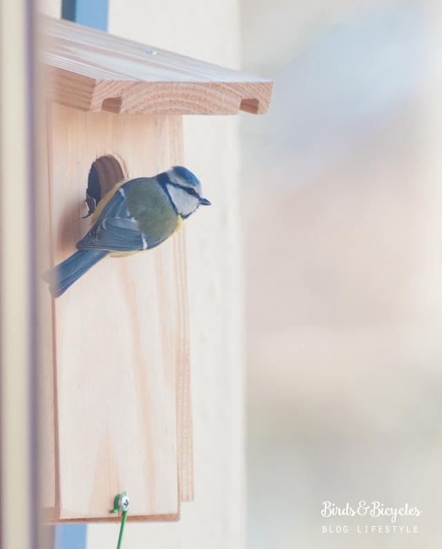 La mésange bleue sur mon balcon