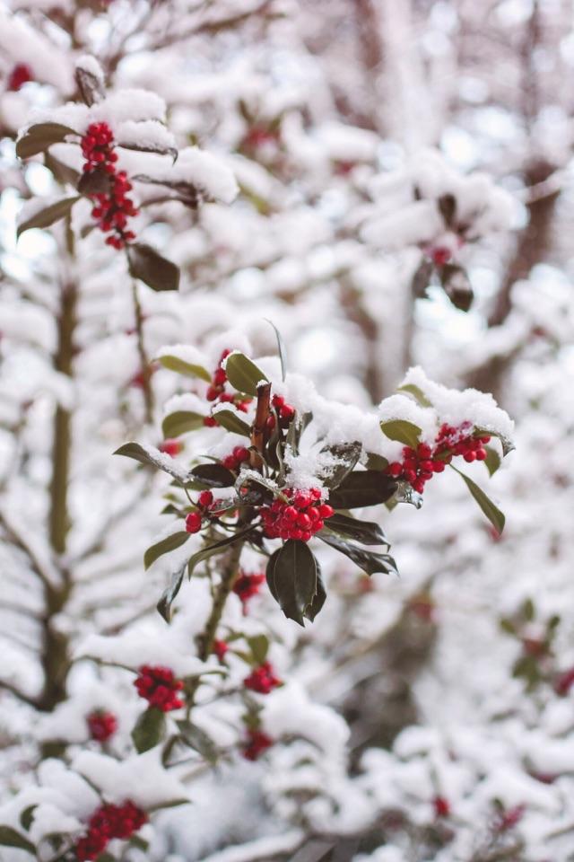 Arbuste à fruits rouges