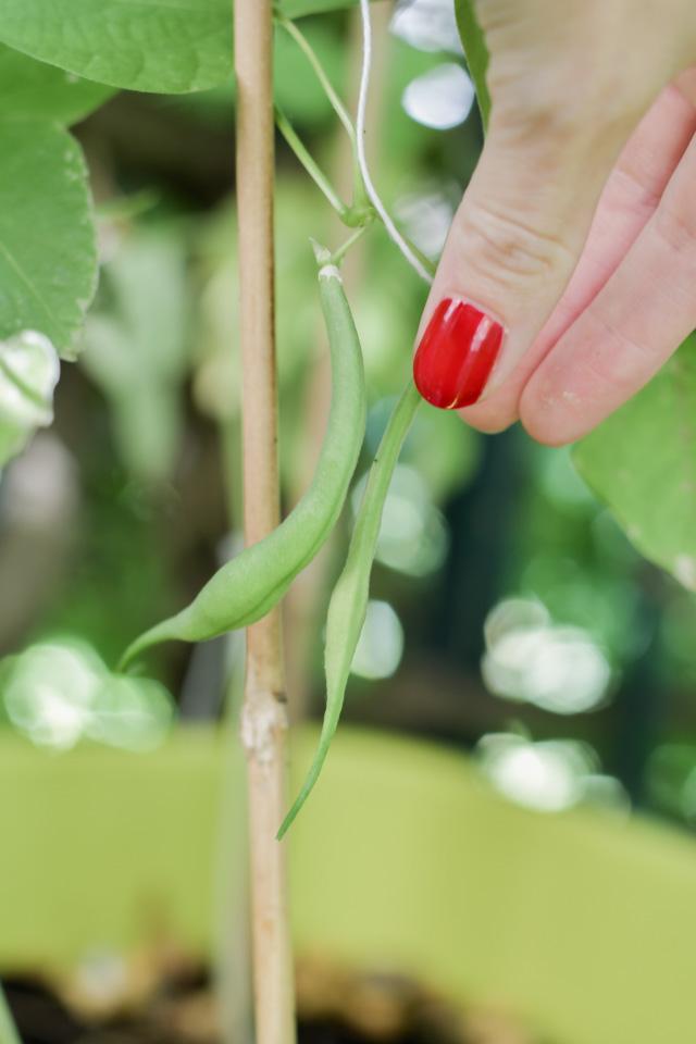 Des haricots sur le balcon - petite récolte