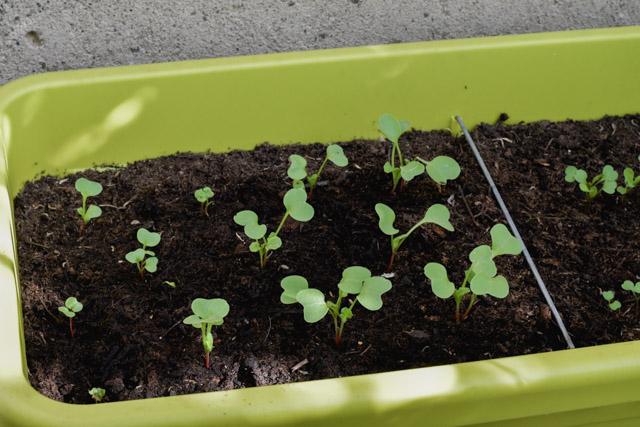 Jardinage urbain: faire pousser des radis sur son balcon