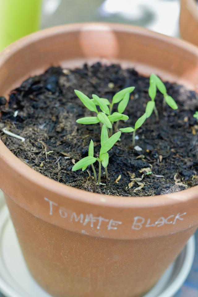 Black Cherry - Pousses de tomates cerises dans mon potager urbain