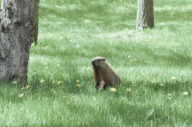 Une marmotte au Parc Jean Drapeau