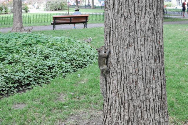 Au Parc Lafontaine: les écureuils