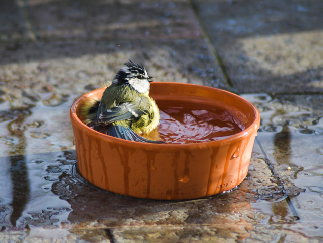 Mésange prend son bain