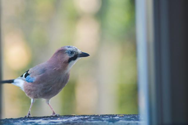Geai sur le bord de ma fenêtre