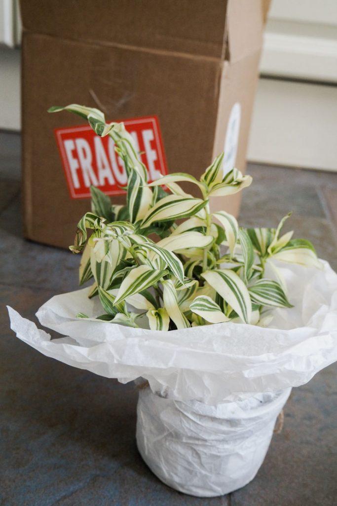 Fougère bien élevée en France de chez Mon Petit jardin, un service de livraison de plantes en France