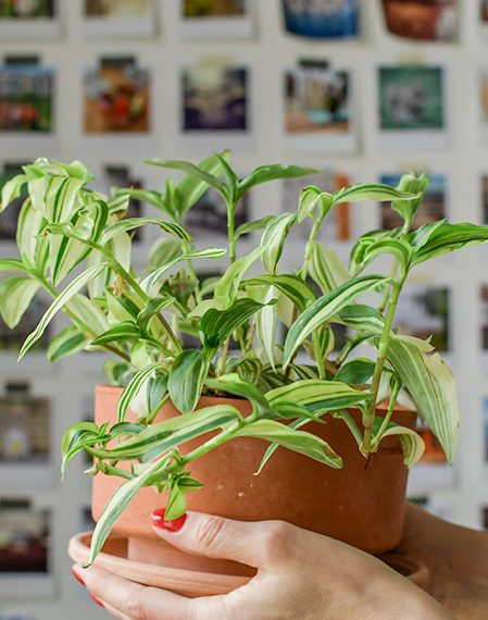 Mes plantes, ma jungle: Tradescantia