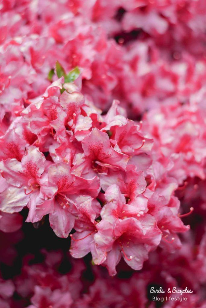 Des rhododendrons en fleurs au jardin botanique de Mulhouse