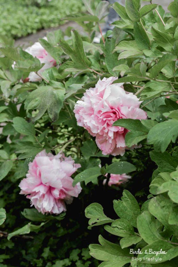 Admirer les fleurs saison après saison - pivoines