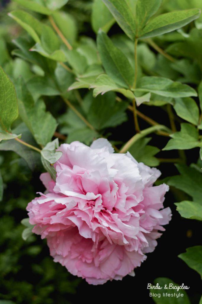 Pivoines, mes fleurs préférées