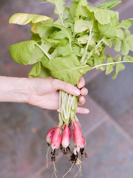 Comment semer des radis