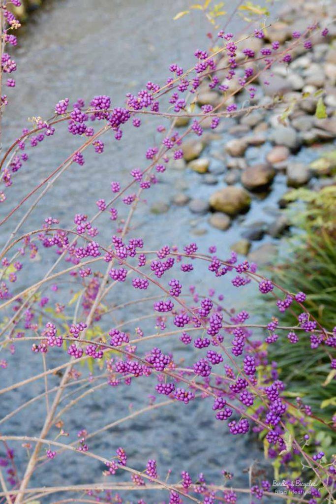 Baies violettes - callicarpa