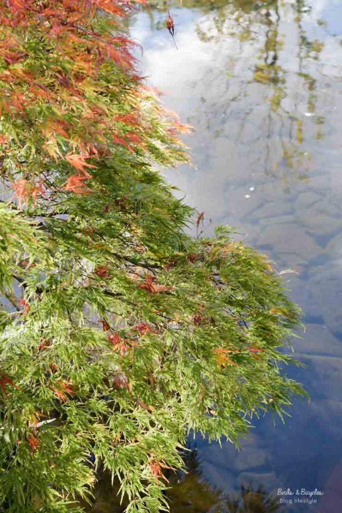 Feuilles de momiji - jardin japonais