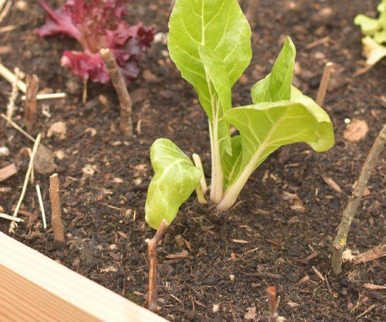 Plantations dans mon carré potager